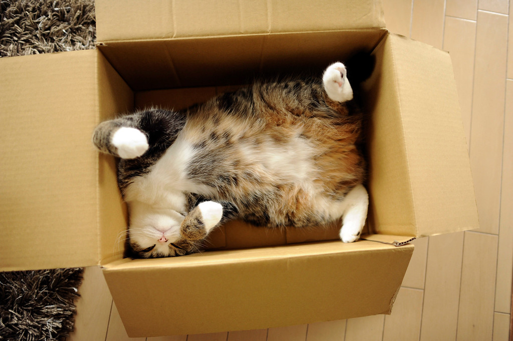 . In this June 2011 photo provided by mugumogu, Scottish fold Maru rests in a cardboard box in Japan. After years of viral YouTube viewing and millions of shares, the cat stars of the Internet are coming into their own in lucrative and altruistic ways. Roly poly Maru, the megastar in Japan with millions of views for nearly 300 videos since 2007, has three books and a calendar, among other swag for sale. (AP Photo/mugumogu)