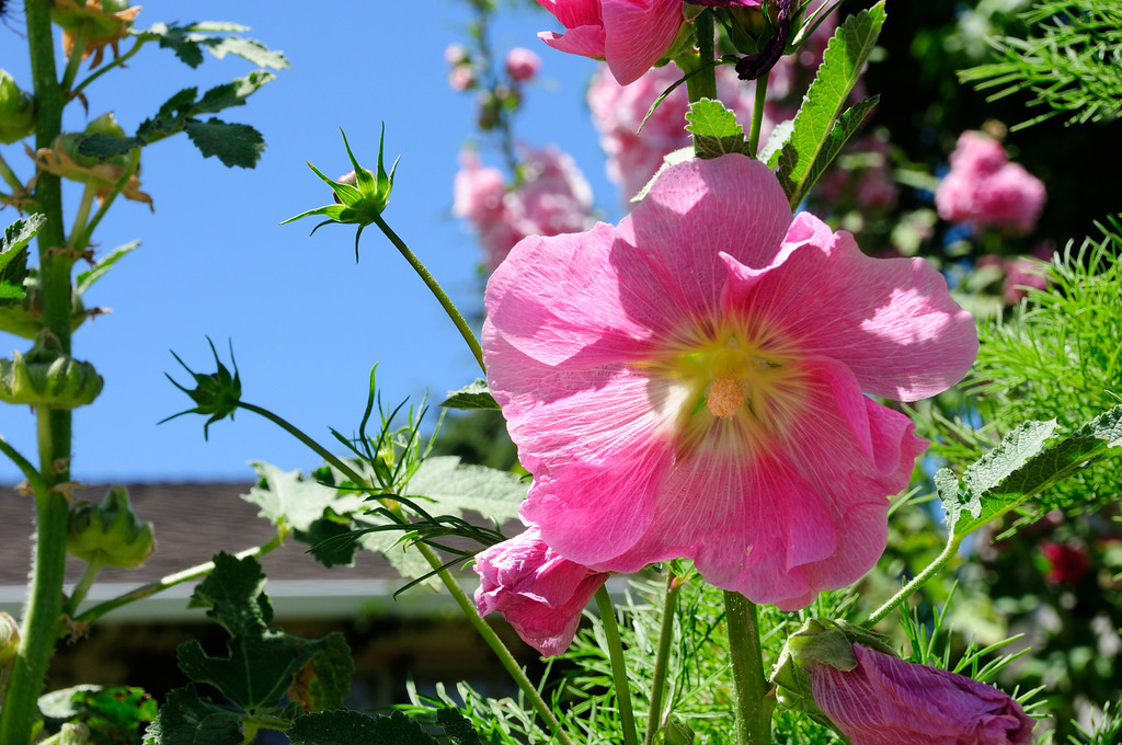 . HOLLYHOCK: This upright bloomer -- whose flowers can be yellow, red, apricot, purple, white or even nearly black -- is frequently used in arrangements, and it attracts butterflies, too. (Rebecca Jepsen/Contributed)