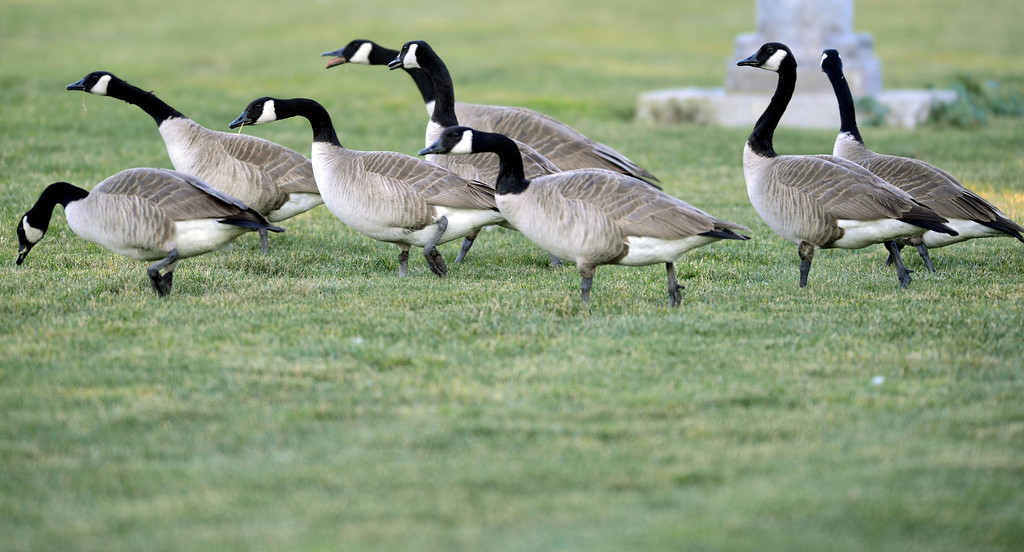. A gaggle of Canada geese walk on the soccer field before being scared away by goose-chasing dogs at the Dublin Sports Grounds in Dublin, Calif., on Friday, Feb. 8, 2013. The the city hired 4Paws Goose Control to keep the Canada geese off the sports grounds. Other cities, like Fremont and Alameda, have also hired dogs to keep the geese away from their parks. (Doug Duran/Staff)