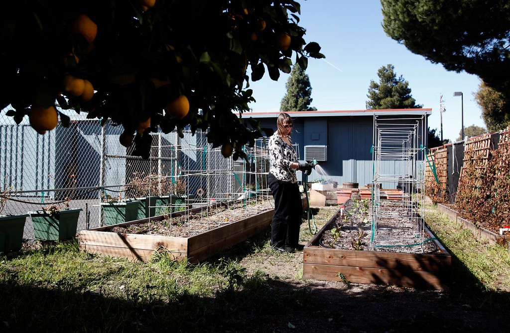 . Kathleen Lynch waters the two-year old vegetable garden she had built at Oak Grove HIgh School for her International Cuisine class on Thursday, Feb. 28, 2013 in San Jose, Calif. The project was done in answer to funding difficulties the class faced in procuring ingredients. (Karl Mondon/Staff)