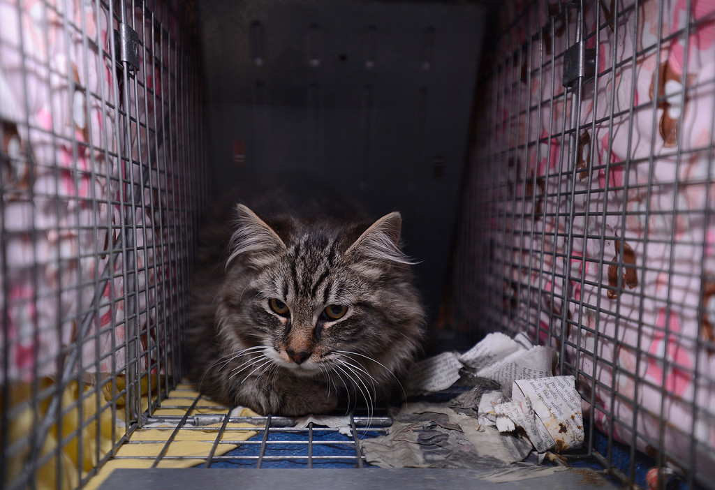 . A blanket is used to keep a feral cat calm as it awaits surgery during the 2013 SNIP (Spay Neuter Impact Program) Spay Day at the Contra Costa Animal Services Department in Martinez, Calif., on Sunday, Feb. 10, 2013. Karen Kops, executive director of Homeless Animals Response Program, launched this program in 2007 in an effort to reduce the number of ownerless cats roaming and breeding in East Contra Costa County. Kops estimated that about 100 cats that were trapped by volunteers are being spayed or neutered today. Other SNIP clinic dates are April 14, June 23, August 25 and November 3. (Jose Carlos Fajardo/Staff)