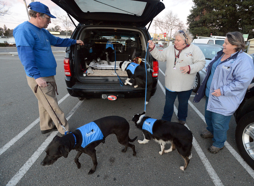 . From left, 4Paws Goose Control\'s Mike Ford, Denise Laberee and Vicki Stewart, all of San Lorenzo, load the dogs into their SUV after chasing the geese out of the Dublin Sports Grounds in Dublin, Calif., on Friday, Feb. 8, 2013. The city hired the goose-chasing dogs to keep the Canada geese off the sports grounds. Other cities, like Fremont and Alameda, have also hired dogs to keep the geese away from their parks. (Doug Duran/Staff)