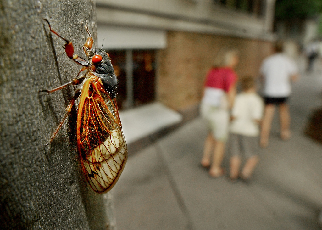 ". A cicada climbs a tree in Princeton, N.J., Tuesday, June 1, 2004. This cicada, a species of the grasshopper-like insect best known for the scratching, screeching ""singing\"" of the males, lives underground and emerges every 17 years. The cicadas began appearing in parts of New Jersey early last month and will likely remain until early next month, officials say. (AP Photo/Daniel Hulshizer)"