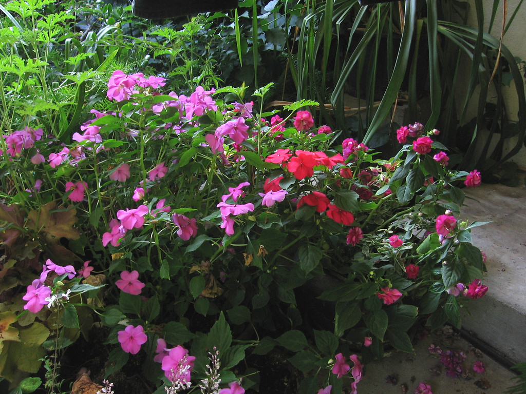 . IMPATIENS: They come in virtually every color of the rainbow, with single and double flowering forms. (Rebecca Jepsen/Contributed)