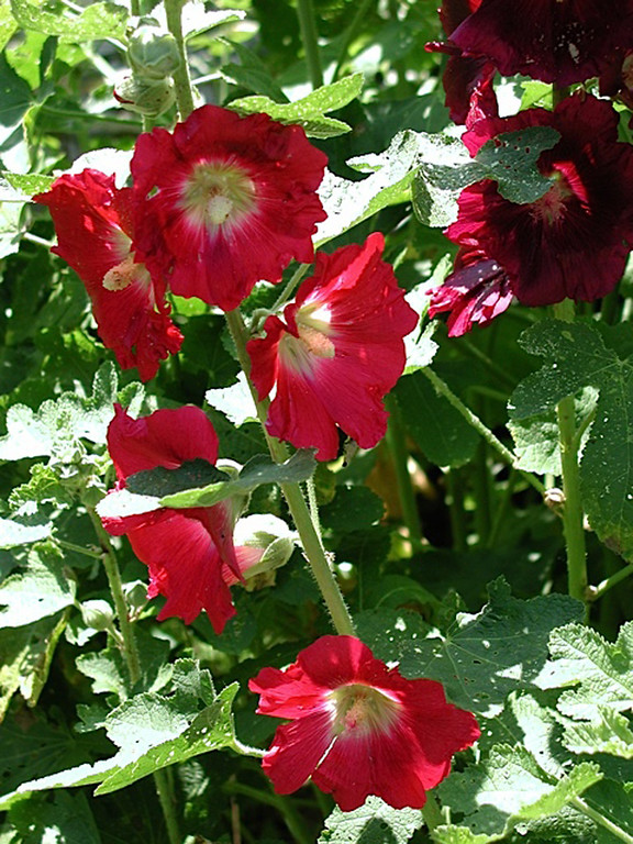 . HOLLYHOCK: Some varieties can reach 8 feet or more in height and up to three feet in width, so leave plenty of room when planting. (Rebecca Jepsen/Contributed)