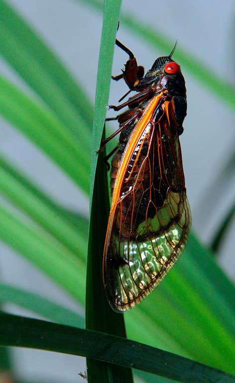 . A 13-year cicada clings to a plant in Chapel Hill, N.C., Wednesday, May 11, 2011. Portions of the southern states are currently experiencing the emergence of the periodic cicadas, which tunnel their way to the surface to shed their skin and mate after 13 years underground. (AP Photo/Gerry Broome)
