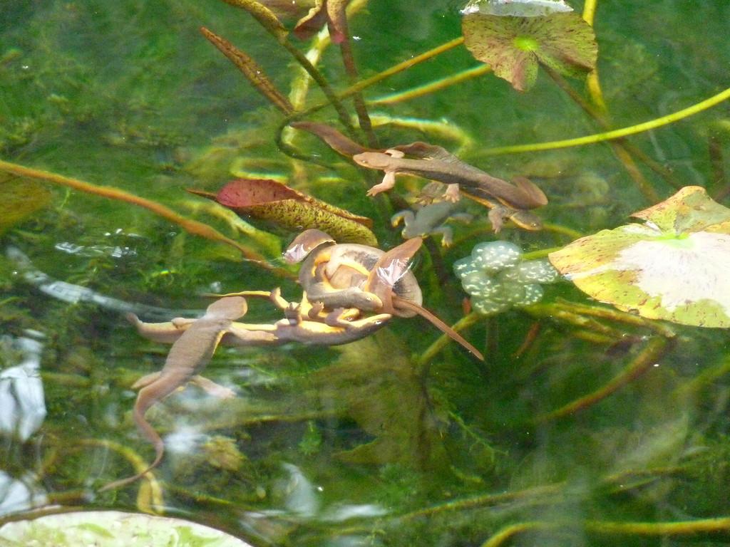 . A newt mating ball. (Photo by Marlene Friedman Walters)