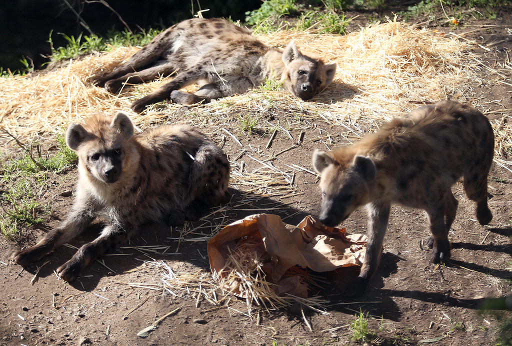 . The Oakland Zoo\'s three new spotted hyenas are seen in their habitat at the zoo in Oakland, Calif. on Thursday, Jan. 10, 2013. The hyenas were relocated from the Berkeley Hyena Center at UC Berkeley, where they were being studied in a research program which suffered funding cuts.  (Jane Tyska/Staff)