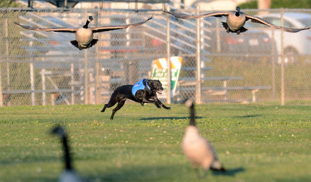 . A dog named Chantz, owned by 4Paws Goose Control, scares geese off the soccer field at the Dublin Sports Grounds in Dublin, Calif., on Friday, Feb. 8, 2013. The the city hired the goose-chasing dogs to keep the Canada geese off the sports grounds. Other cities, like Fremont and Alameda, have also hired dogs to keep the geese away from their parks. (Doug Duran/Staff)