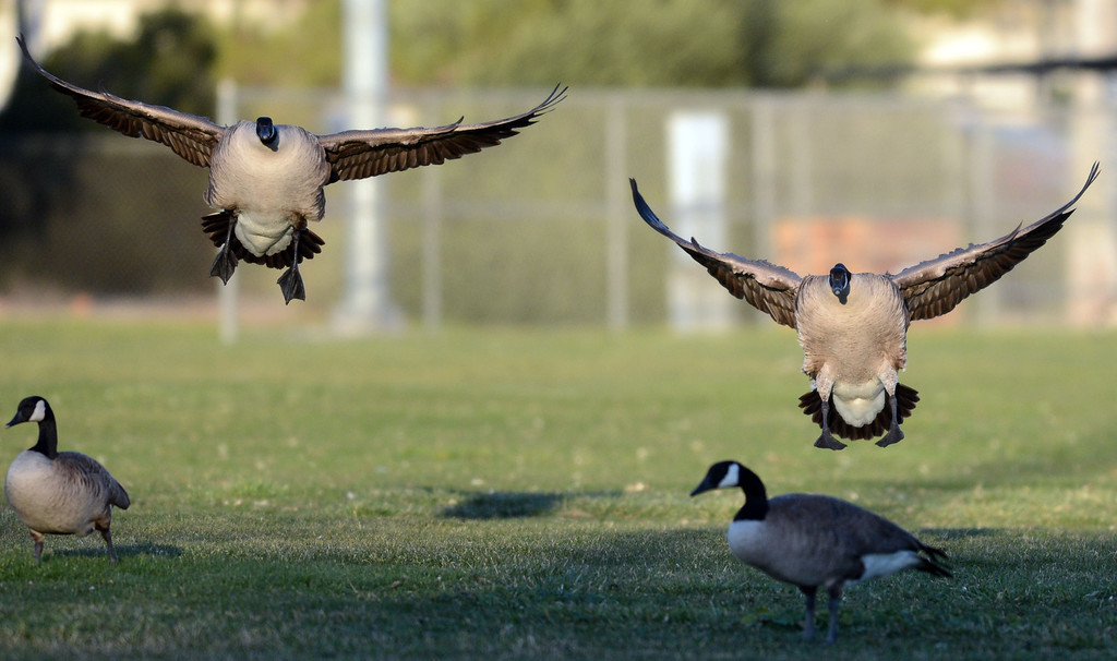 . Canada geese land on the soccer field before being scared away by goose-chasing dogs at the Dublin Sports Grounds in Dublin, Calif., on Friday, Feb. 8, 2013. The the city hired 4Paws Goose Control to keep the Canada geese off the sports grounds. Other cities, like Fremont and Alameda, have also hired dogs to keep the geese away from their parks. (Doug Duran/Staff)