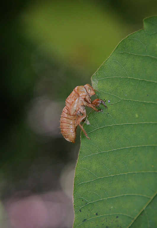 . An empty, nymphal skin of a cicada remains clinging to a leaf following the hatch of Brood XIII June 11, 2007 in Willow Springs, Illinois. The periodical cicadas are among the millions in the area that have emerged from the ground and taken to the trees during the past couple of weeks as part of their 17-year hatch cycle.  (Photo by Scott Olson/Getty Images)