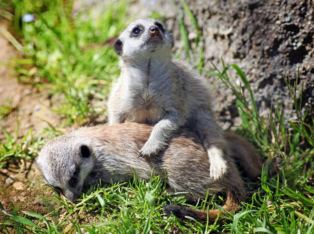 . Two of the three meerkat babies, called pups, play in the grass in their habitat at the Oakland Zoo in Oakland, Calif., on Monday, March 11, 2013.The three 6-week old pups were given names that are African in origin, Ayo (joy), Rufaro (happiness), and Nandi (sweet). They were born Feb. 7, bringing the zoo\'s  total to eight meerkats in the mob (group of meerkats).   (Laura A. Oda/Staff)