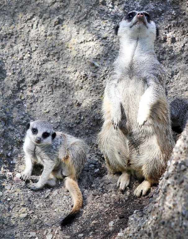 . One of the three meerkat babies, called pups, stays close to the older meerkat, learning how to keep watch for danger in their habitat at the Oakland Zoo in Oakland, Calif., on Monday, March 11, 2013. The three 6-week old pups were given names that are African in origin, Ayo (joy), Rufaro (happiness), and Nandi (sweet). They were born Feb. 7,  bringing the zoo\'s  total to eight meerkats in the mob (group of meerkats). (Laura A. Oda/Staff)