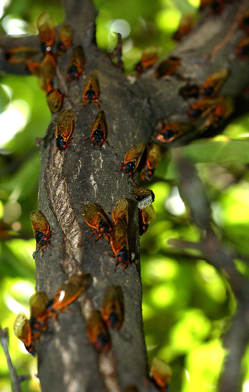 . A crabapple tree branch is covered with cassini cicadas, Wednesday, June 9, 2004, in Newport, Pa. In the mountains of central Pennsylvania cicada courtship is just now reaching its peak after a 17-year wait. (AP Photo/Carolyn Kaster)