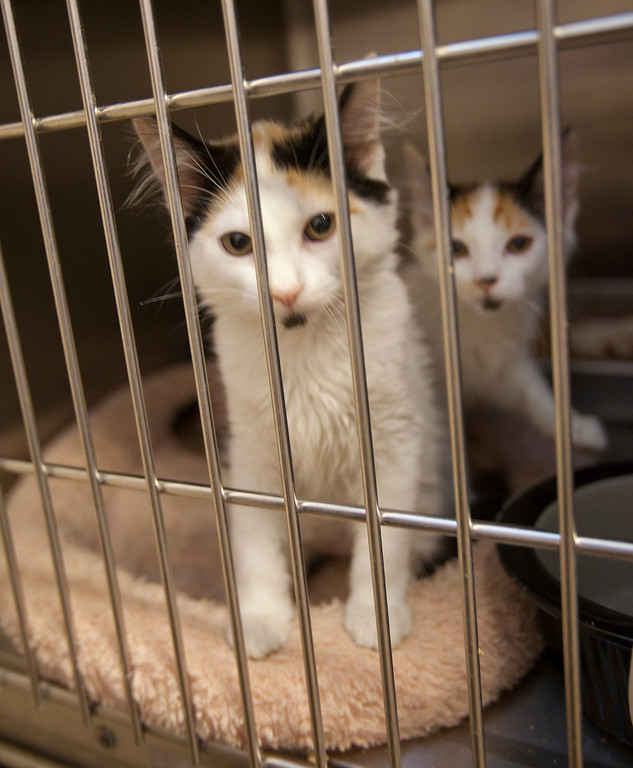 . Kittens available for adoption at the San Jose Animal Care Center in San Jose Saturday, July 21, 2013. South Bay\'s animal shelters are overrun and looking for help from the public. All the shelters are working together on an adoption initiative. (Patrick Tehan/Staff)