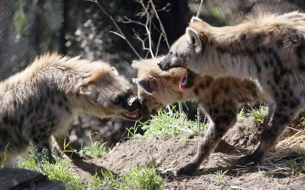 . The Oakland Zoo\'s three new spotted hyenas play in their habitat at the zoo in Oakland, Calif. on Thursday, Jan. 10, 2013. The hyenas were relocated from the Berkeley Hyena Center at UC Berkeley, where they were being studied in a research program which suffered funding cuts.  (Jane Tyska/Staff)