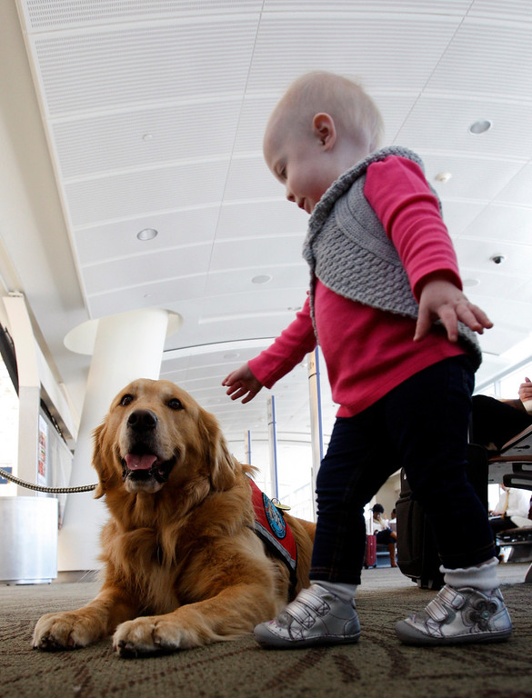 ". ""Therapy dog\"" Henry James draws the attention of 14-month-old Claire Rak, preparing to fly home to Denver with her parents at Mineta San Jose International Airport in San Jose, Calif. on Monday, Jan. 28, 2013. (Karl Mondon/Staff)"