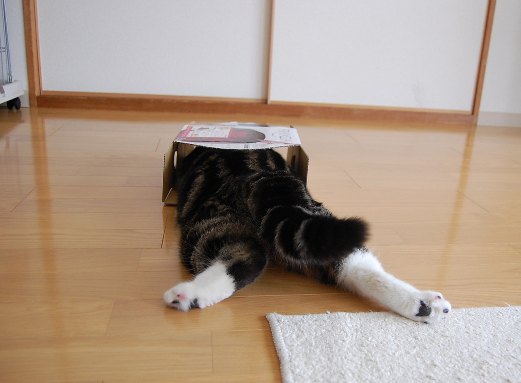 . In this April 2008 photo provided by mugumogu, Scottish fold Maru lies down as he dives in a cardboard box in Japan. After years of viral YouTube viewing and millions of shares, the cat stars of the Internet are coming into their own in lucrative and altruistic ways. Roly poly Maru, the megastar in Japan with millions of views for nearly 300 videos since 2007, has three books and a calendar, among other swag for sale. (AP Photo/mugumogu)