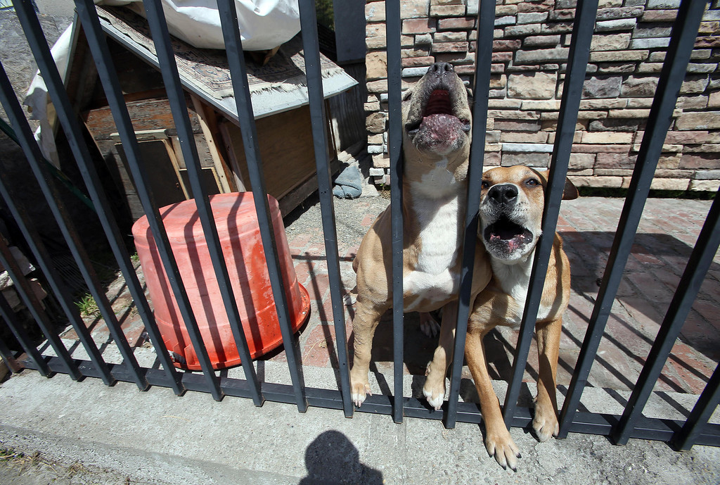 . A pair of pitbulls, Sexy, left, and Busy, right, guard their owner\'s property on Holway Street in Oakland, Calif., on Friday, April 12, 2013.  (Jane Tyska/Staff)
