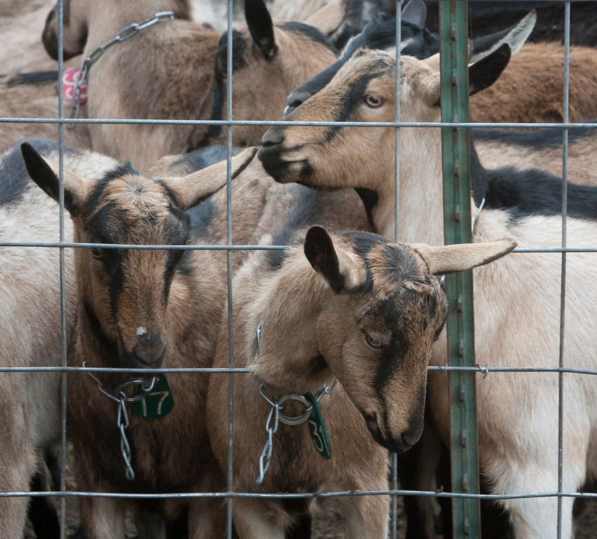 . Some of the 200 goats at Harley Farms in Pescadero, Calif.