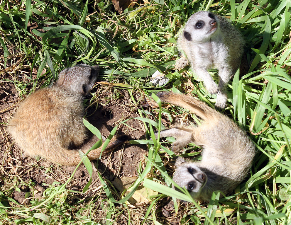 . The three meerkat babies, called pups, play in the grass in their habitat at the Oakland Zoo in Oakland, Calif., on Monday, March 11, 2013. The three 6-week old pups were given names that are African in origin, Ayo (joy), Rufaro (happiness), and Nandi (sweet) They were born Feb. 7,  bringing the zoo\'s  total to eight meerkats in the mob (group of meerkats).  (Laura A. Oda/Staff)