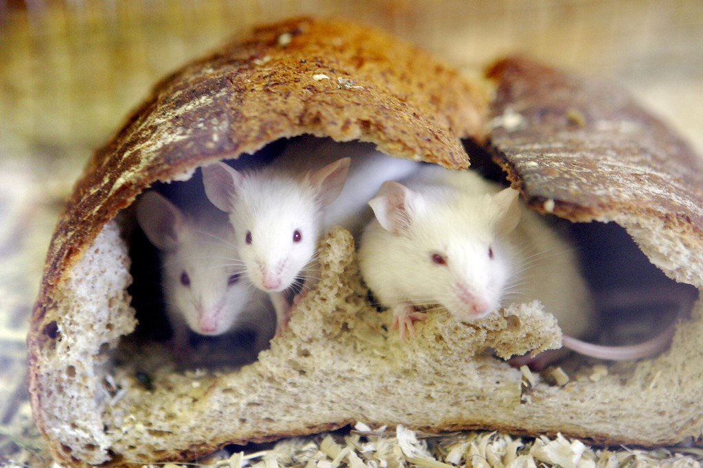 . Mice peer from a loaf of bread which they hollowed out at the Inokashira Park Zoo in suburban Tokyo.  YOSHIKAZU TSUNO/AFP/Getty Images