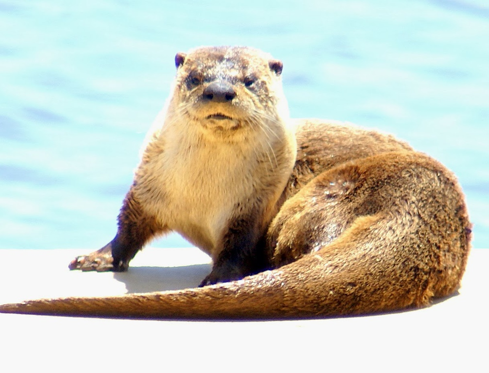 . Who you looking at? River otters are nocturnal, but they do make occasional appearances to soak up the sun. (Courtesy of Krist Jensen)